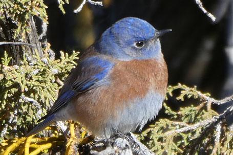 Western Bluebird, Sialia mexicana, New Mexico