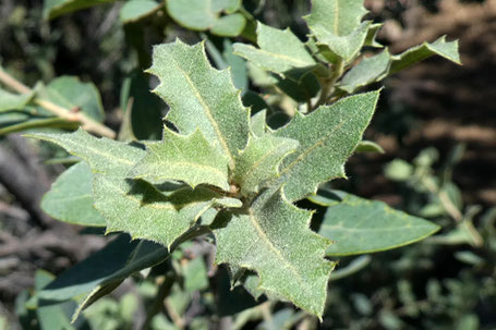 Shrub Live Oak, Quercus turbinella, New Mexico