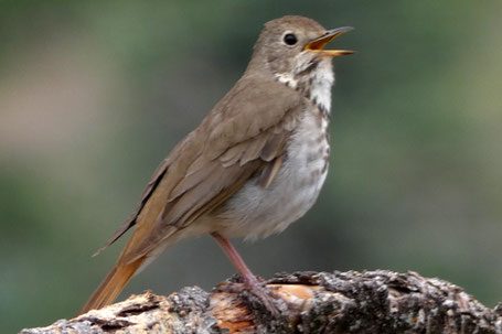 Hermit Thrush, Cathartus guttatus, New Mexico
