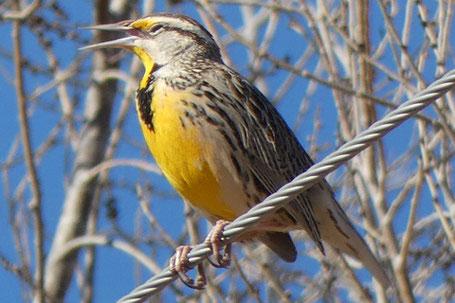Meadowlark, Sturnella, New Mexico