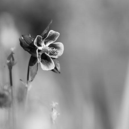 Akelei in voller Blüte
