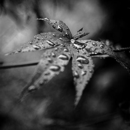 Ahorn mit Regentropfen