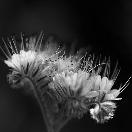 Wildblume auf der Bienenwiese