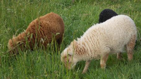 Annethe, Neige et Frisouille de l'élevage de Lila