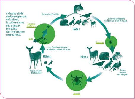 Schéma du cycle de mutation de la tique avec une diversité d'espèces-hôtes. Source : EUCALB d'après J. Gray et B. Kaye
