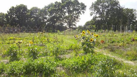 Une vue sur les micro-parcelles maraîchères en agroforesterie de la ferme les demains dans la terre en été 2015 (les arbres ont grandi depuis :)