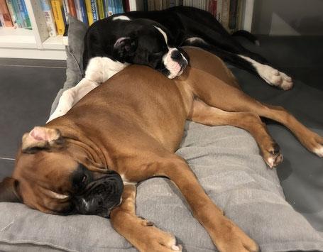 Boxer schlafen Boxer Welpen NRW