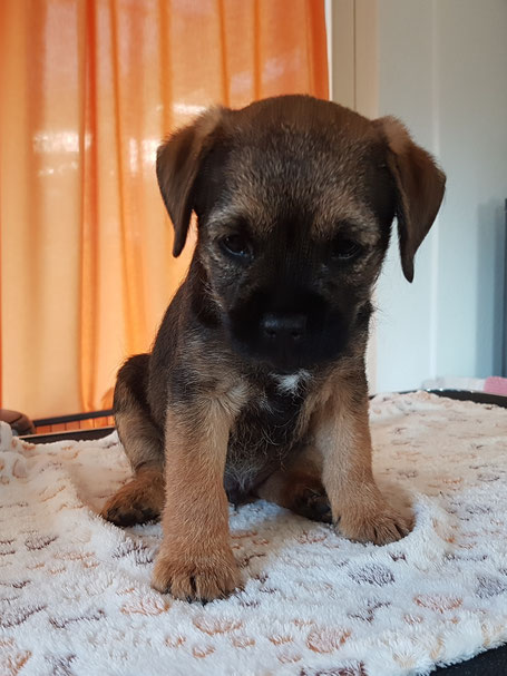 Border Terrier Welpe Bruno