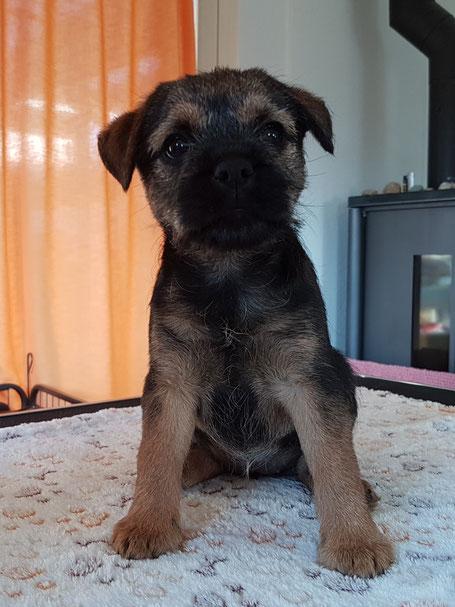 Border Terrier Welpe Baja