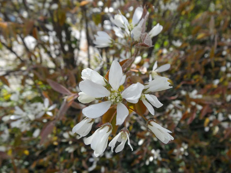 Bild: Die weiße Blütenpracht der Kupferfelsenbirne im April - ein schöner Frühlingsbote in der Gartengestaltung