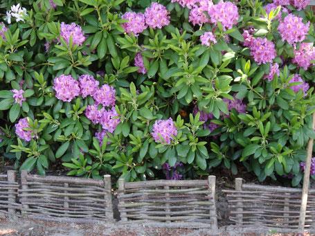 Der Rhododendron wird von kleinen Haselzäunchen gerahmt