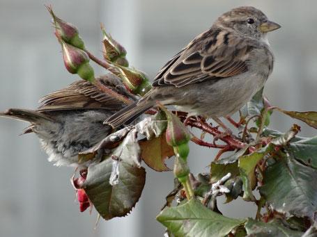 Bild: 2 freche Spatzen auf Rosenbusch