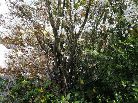 Bild: Die mehrtriebige Kupferlfelsenbirne ideal als Baum im kleinen Garten