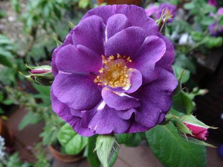 Bild: Rhapsody in Blue tolle blauviolette Strauchrose mit starkem Duft