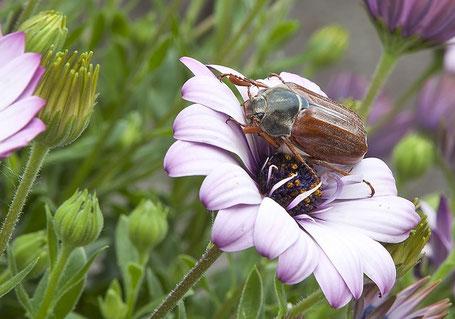Selten  zu sehen: Maikäfer in einer Blüte