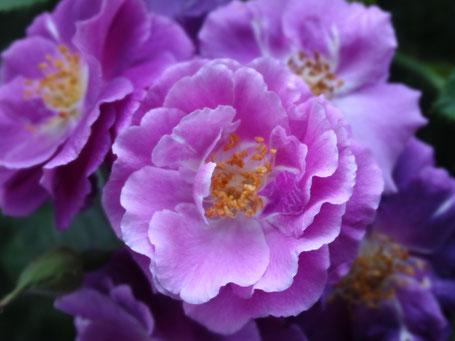 Bild: gewellte Blütenblätter in sattem Rosa