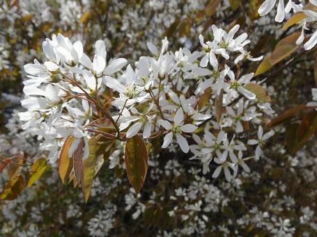Bild: Rahmweiße Blüte zwischen kupferfarbigen Austrieben - die Kupferfelsenbirne