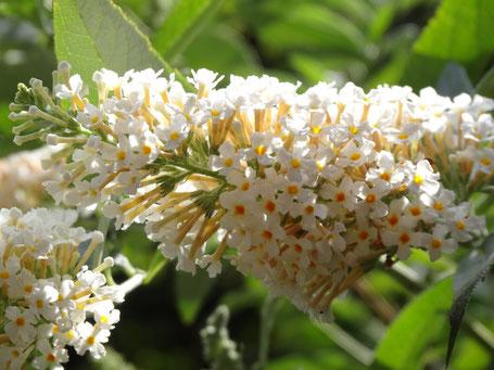 Bild: schöne weiße Blüte mit gelber Mitte