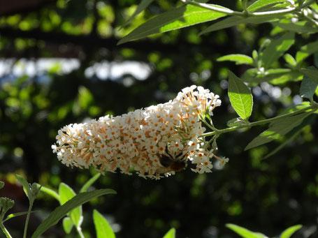 Bild: Großaufnahme strahlend weiße Blüte im Sonnenschein
