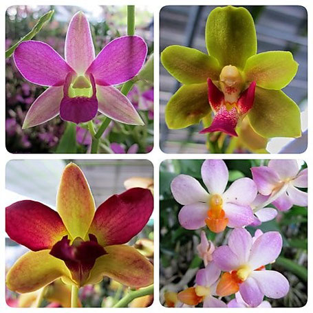 Orchids at the Nonthaburi Flower Market