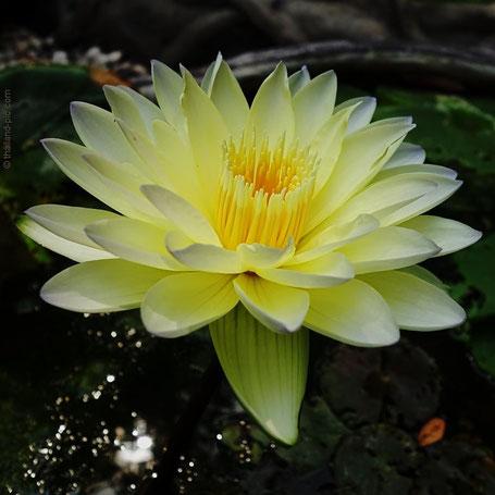 Lotus Flowers at Wat Sangkhathan - Nonthaburi - Thailand