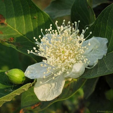 Pomelo Tree _ Blossom