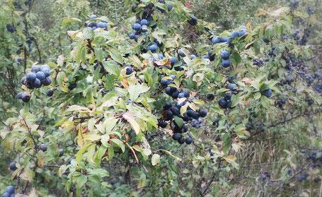 Schlehe Früchte Strauch blau Herbst