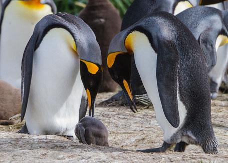 Pinguino Rey