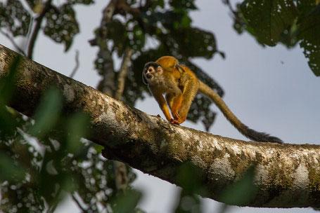 Mono ardilla con cría