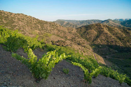 Bild: Rotwein im Priorat bei Barcelona. 90 Jahre alte Carignan- und Grenache -Reben.