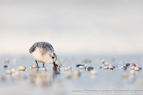 Sanderling am Muschel-Buffet