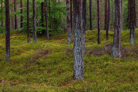 Erste Laubbäume erobern den Fichtenwald