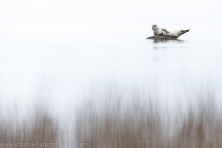Ostsee-Seehund