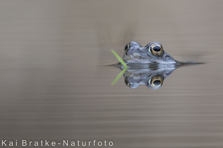 Ein echter GRAS-Frosch