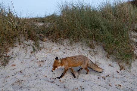 Der dreiste Fuchs vom Weststrand
