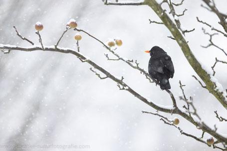 Amsel im Schneegestöber