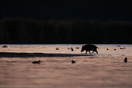 Ein Wildschwein im Nothafen