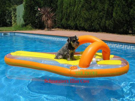 schnauzer sal y pimienta en la piscina