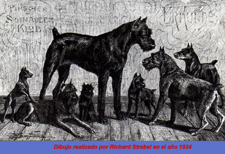 Dibujo de schnauzers del año 1924