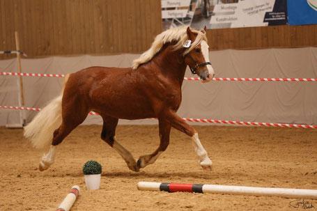 Bildrechte: Bayerischer Zuchtverband für Kleinpferde und Spezialrassen