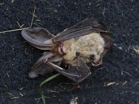 Oreillard tué par mon chat ! Photo : Nathalie Verger