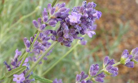 Lavendel, Heilpflanze des Jahres 2008,  lavendula officinalis, Lavendelduft