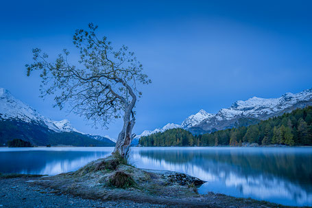 Der berühmte Baum am Silsersee früh morgens in der blauen Stunde