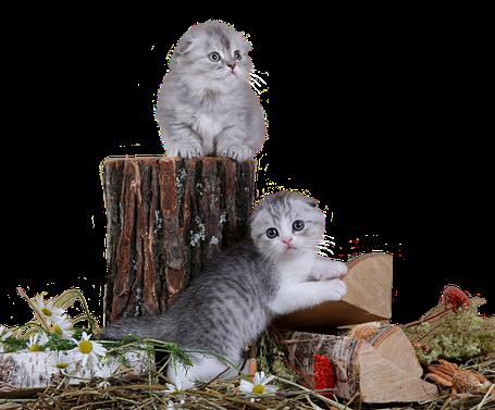шотландские вислоухие котята, scottish fold and highland fold kittens