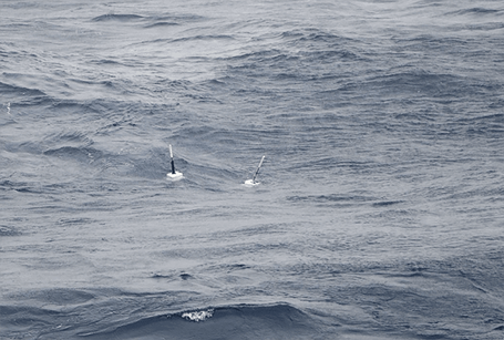 Let's hope they stay together during their long journey through the Atlantic! | © Mia Schumacher, GEOMAR