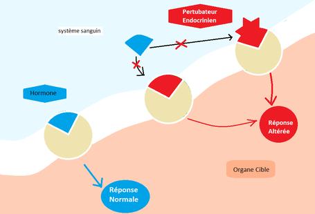 Schéma des différents modes d'action des perturbateurs endocriniens