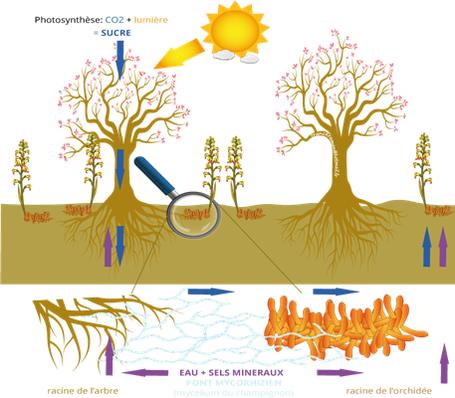 Schéma des ponts mycorhiziens