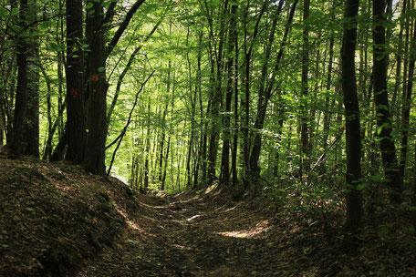 Wald, Entschleunigen im Wald mit Lamas, Beratung im Gehen, Lamawanderung,  Lama Mama, Sommerein, Niederösterreich