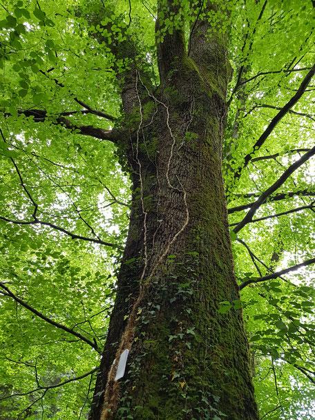 Arbre multicentenaire dans la forêt du Bager d'Oloron - ACCOB