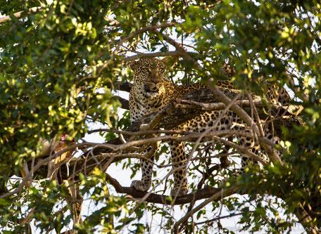 Fotograf Friedrichsdorf - Leopard